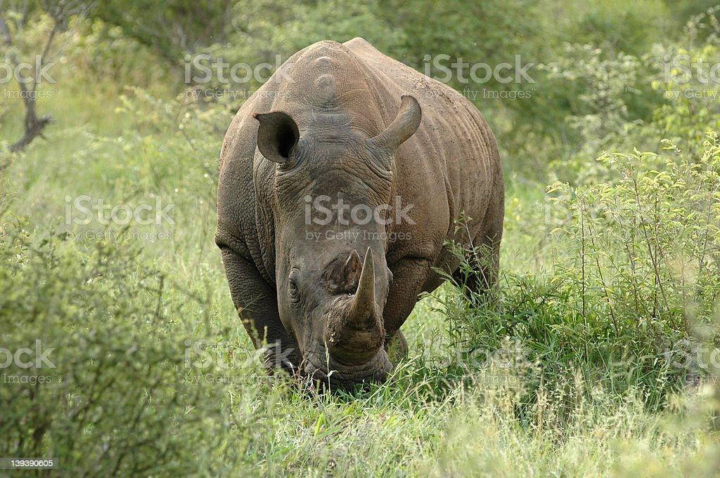 African White Rhino royalty-free stock photo