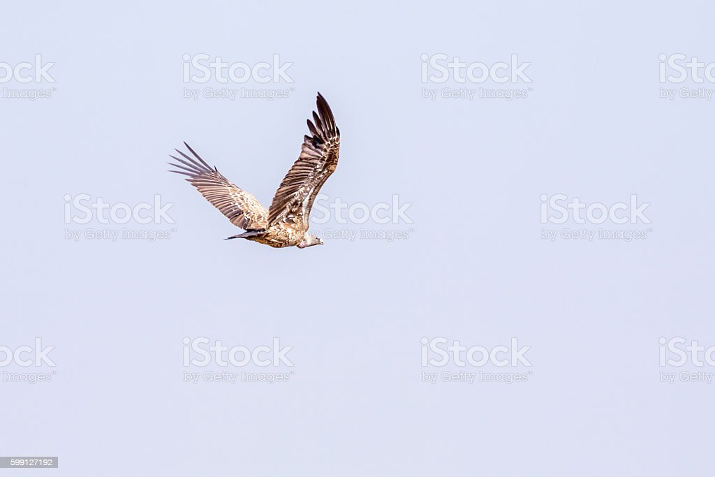 African white-backed Vulture flying stock photo
