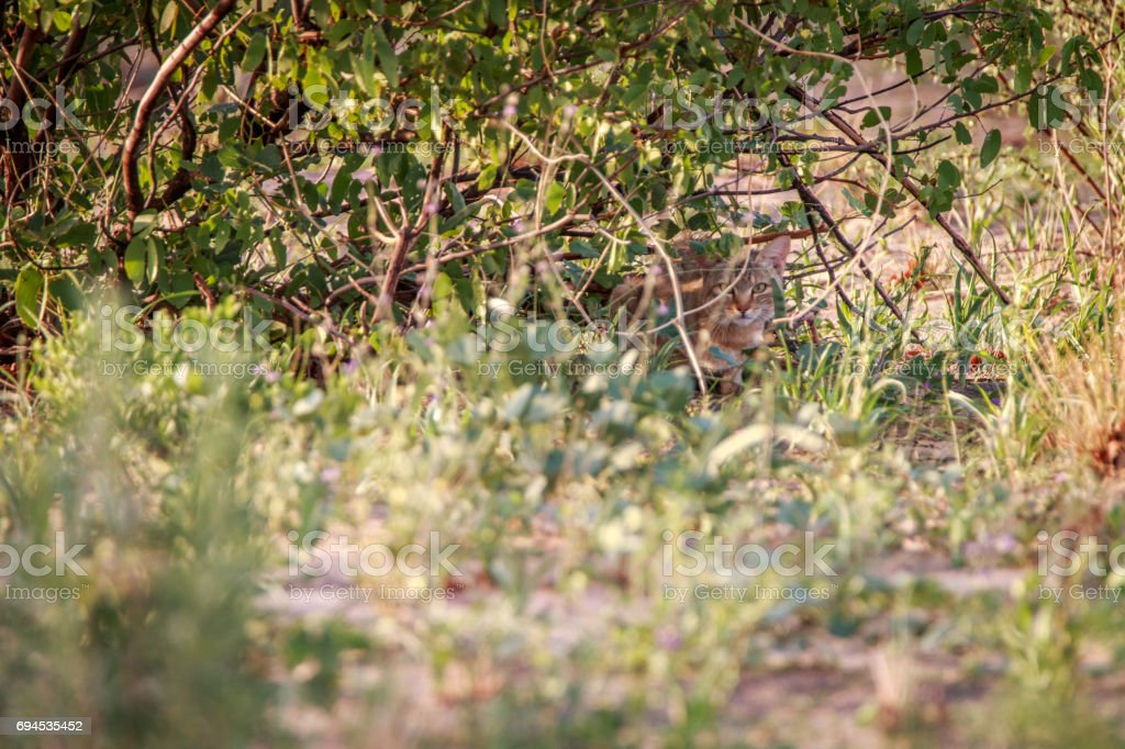 African wild cat hiding in the bushes. stock photo