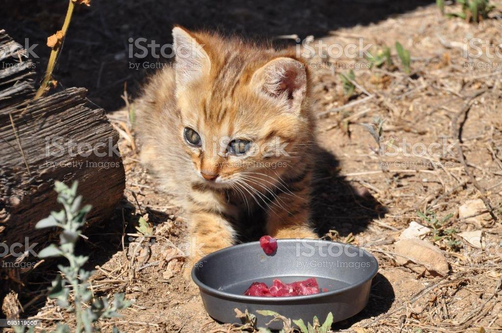 African wild cat kitten eating stock photo