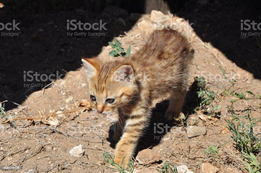 African wild cat kitten in the sun stock photo