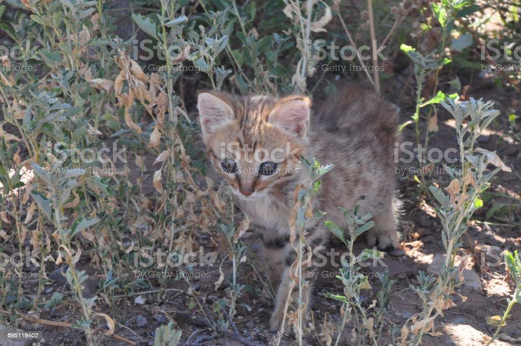 African wild cat kitten looking around stock photo