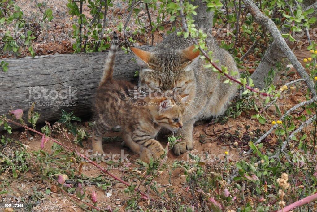 African wild cat kitten playing stock photo