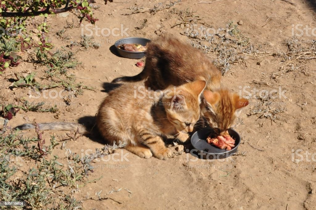 African wild cat kittens, eating from each other plates stock photo