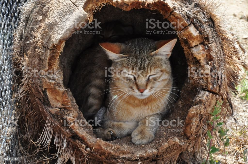 African wild cat mother stock photo