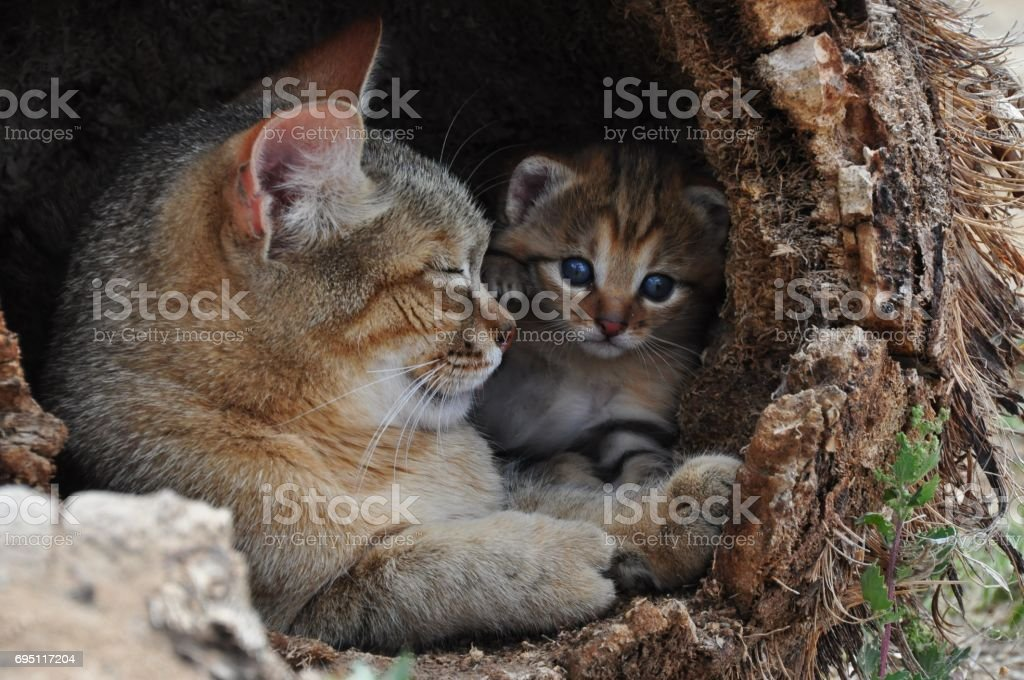 African wild cat mother with kitten stock photo