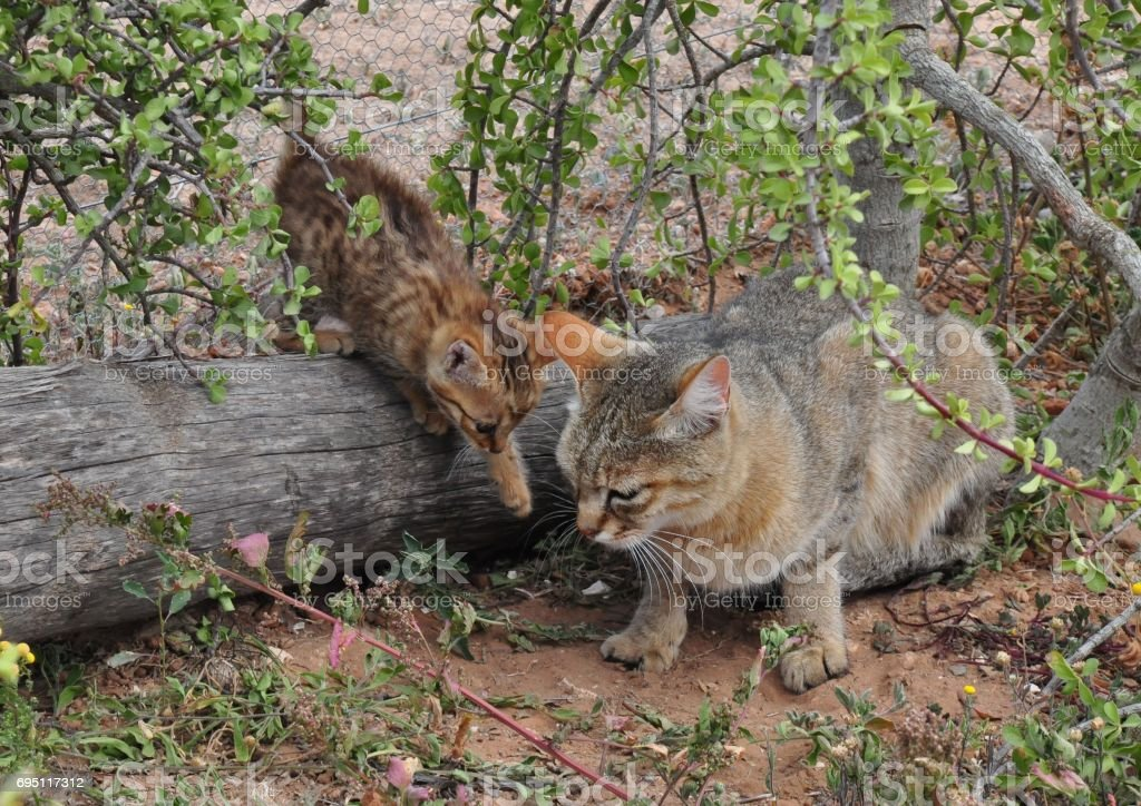 African wild cat mother with playing kitten stock photo