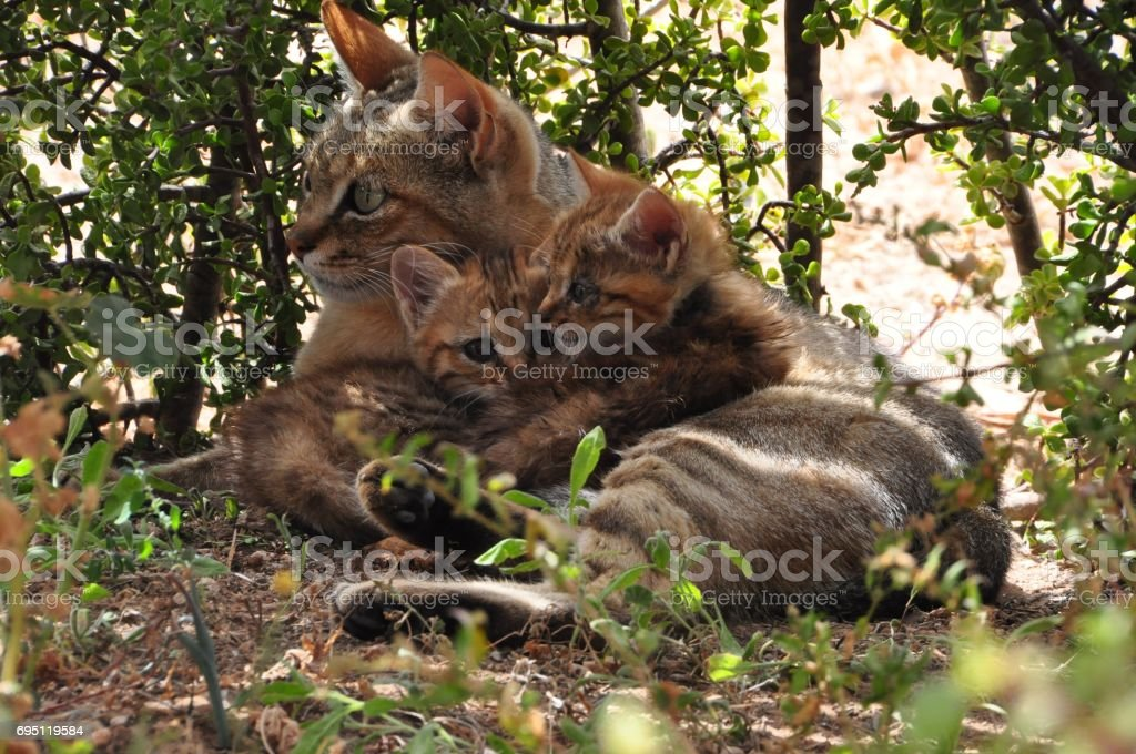 African wild cat mother with two kittens stock photo
