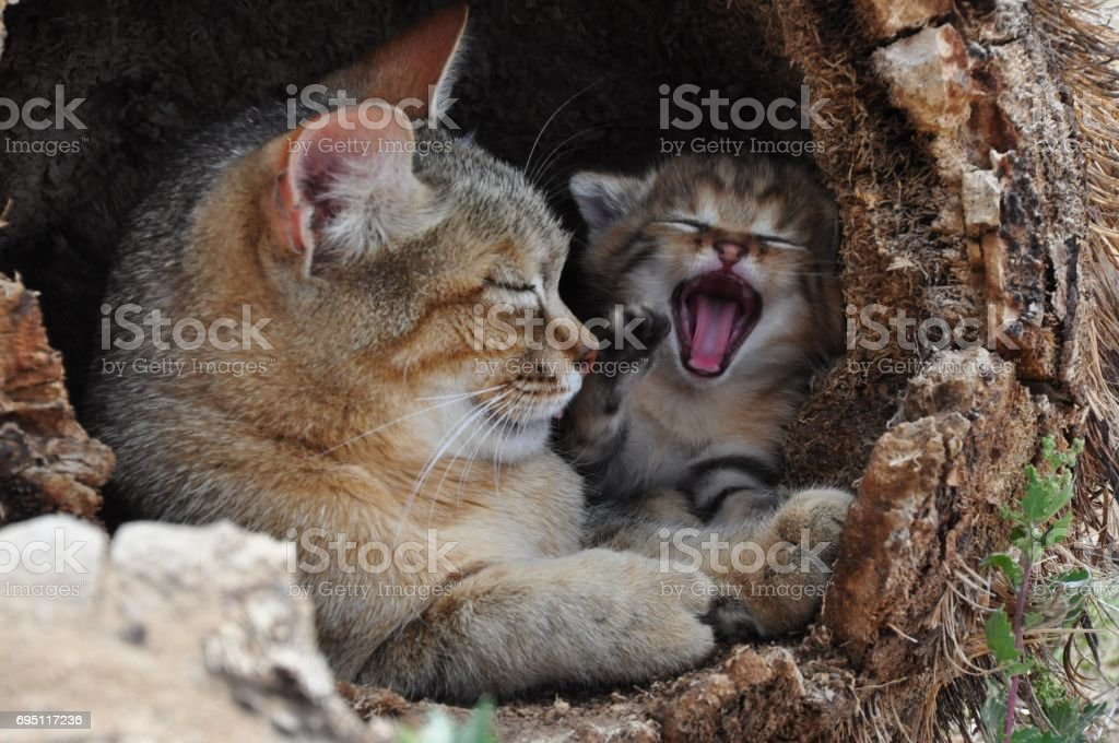 African wild cat mother with yawning kitten stock photo