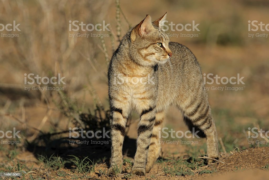 African wild cat royalty-free stock photo
