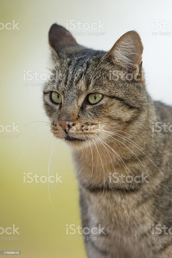 African Wild Cat (Felis silvestris lybica) portrait South Africa stock photo
