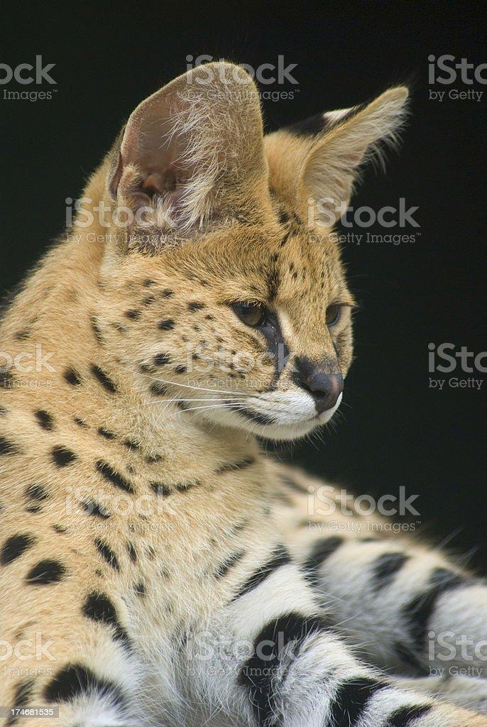African wild cat serval (Leptailurus) closeup portrait stock photo