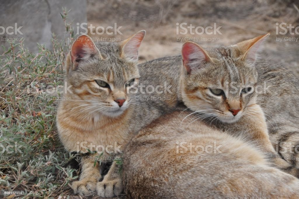 African wild cats together stock photo
