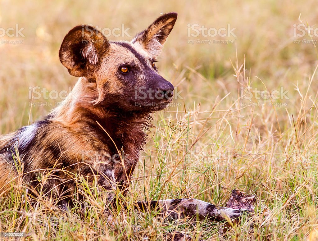 African wild dog close up stock photo