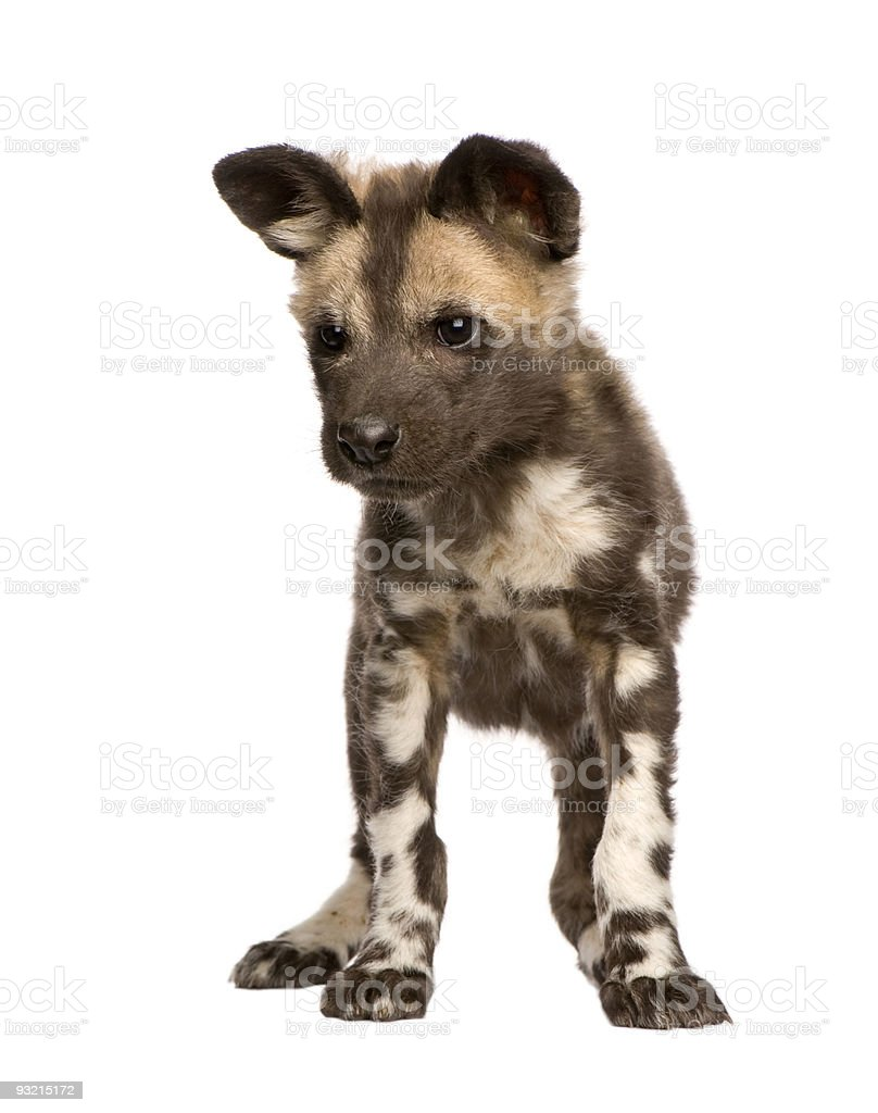 African wild dog cub (9 weeks) - Lycaon pictus stock photo