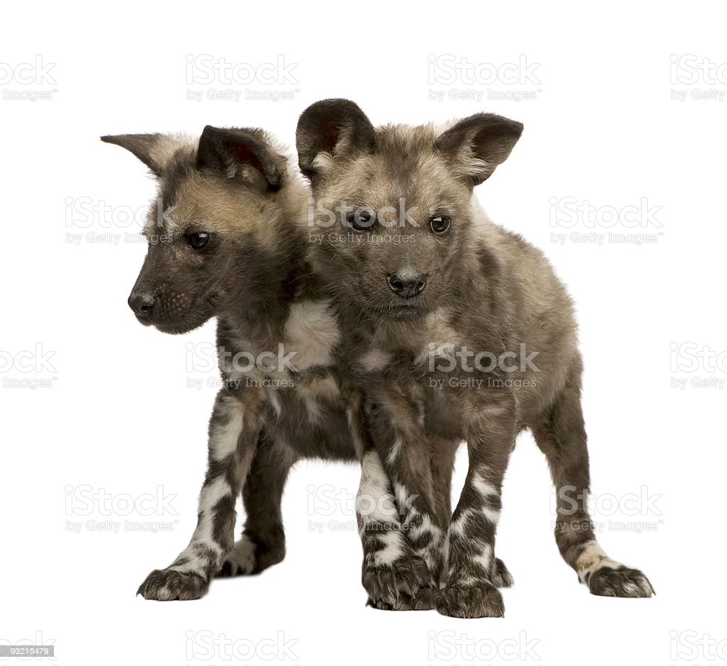 African wild dog cub (9 weeks) - Lycaon pictus royalty-free stock photo