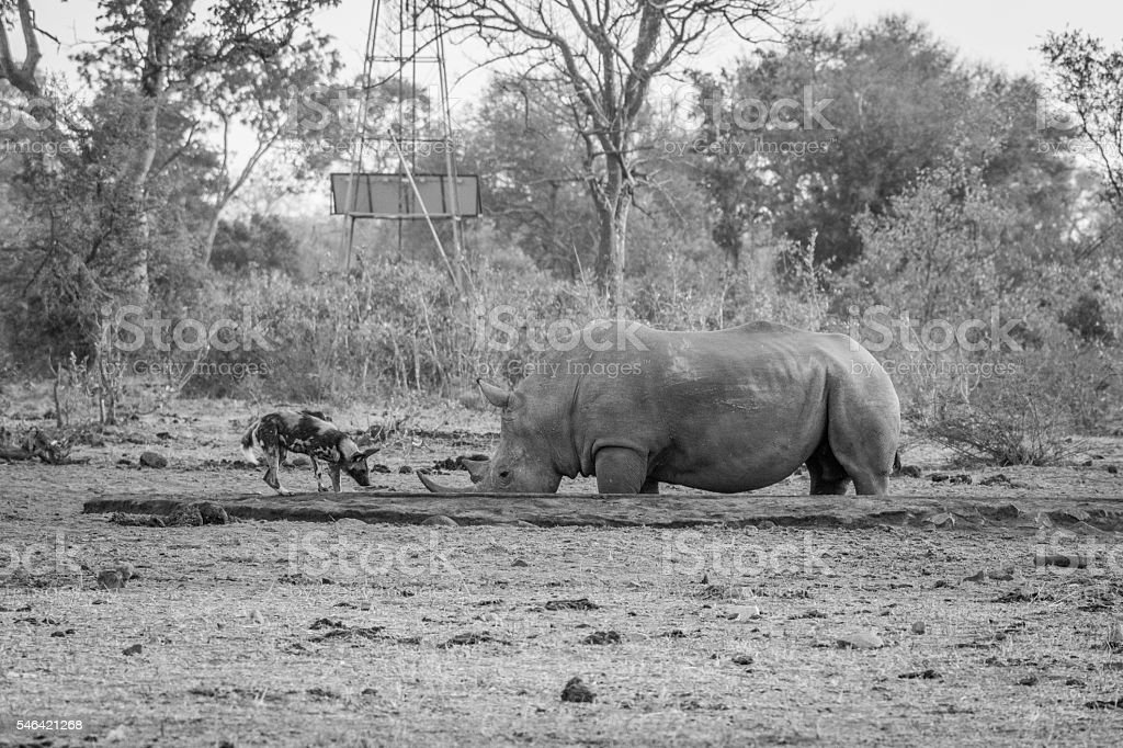 African wild dog drinking next to a White rhino in stock photo