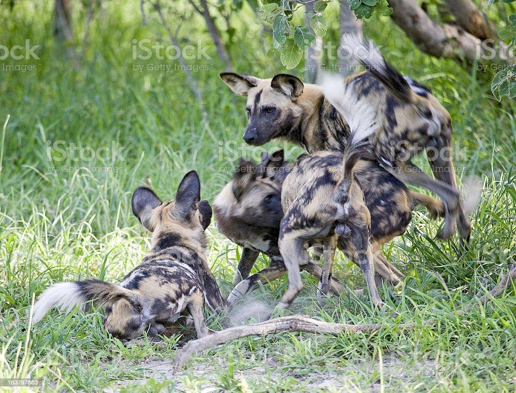 African Wild Dog Greeting stock photo