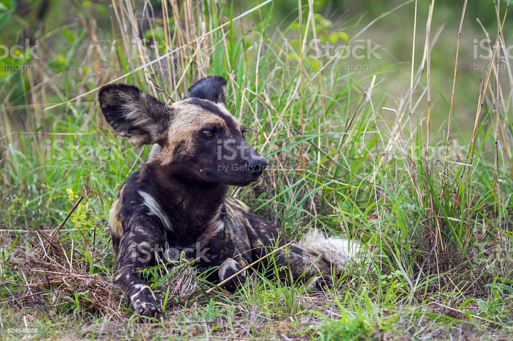 African wild dog in Kruger National park, South Africa stock photo
