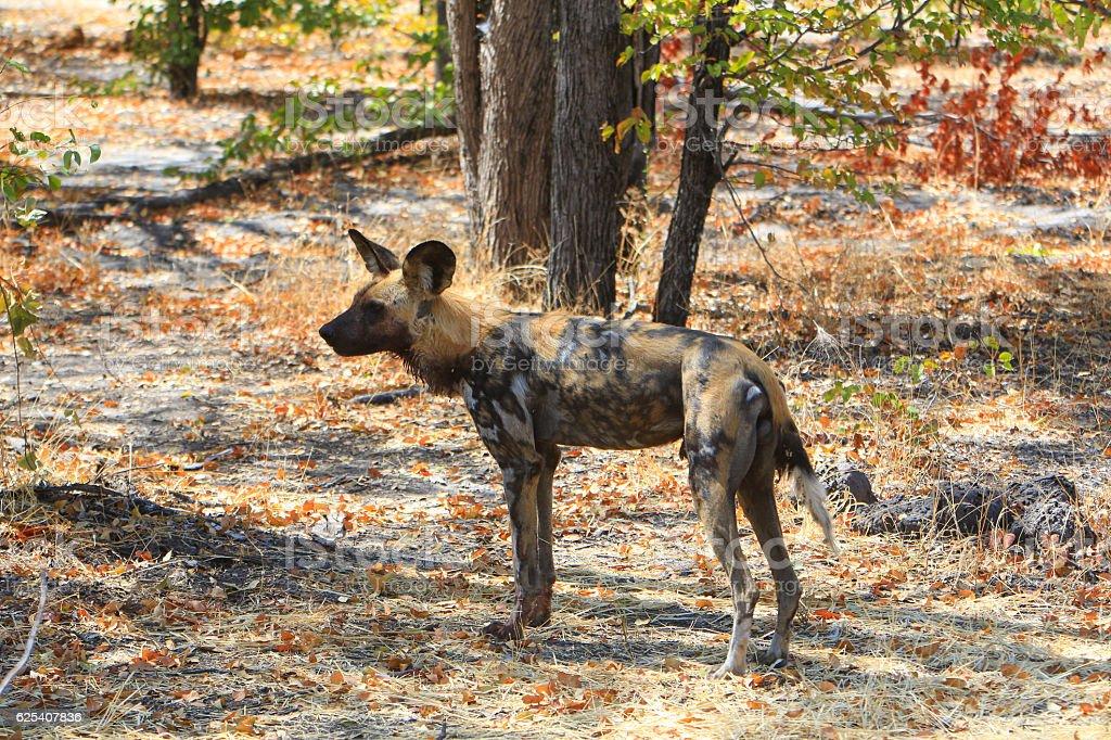 African wild dog in Savuti, Chobe National Park, Botswana stock photo