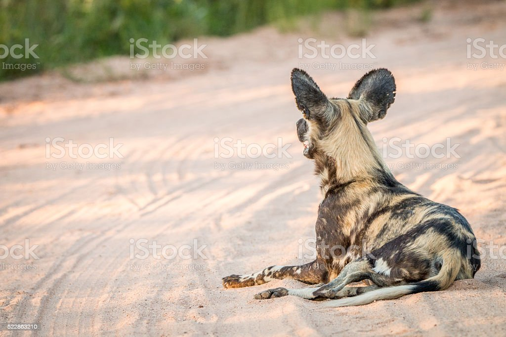 African wild dog laying in the sand in the Kruger National Park. stock photo