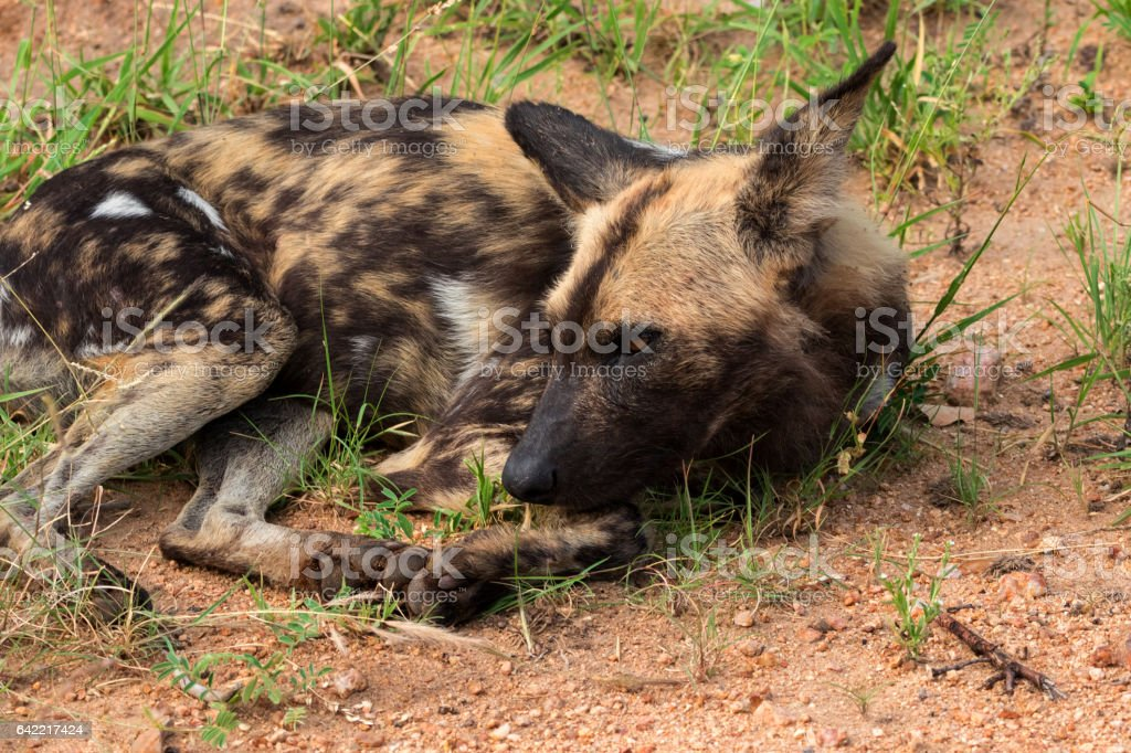African wild dog or african painted dog, Kruger National Park, South Africa stock photo