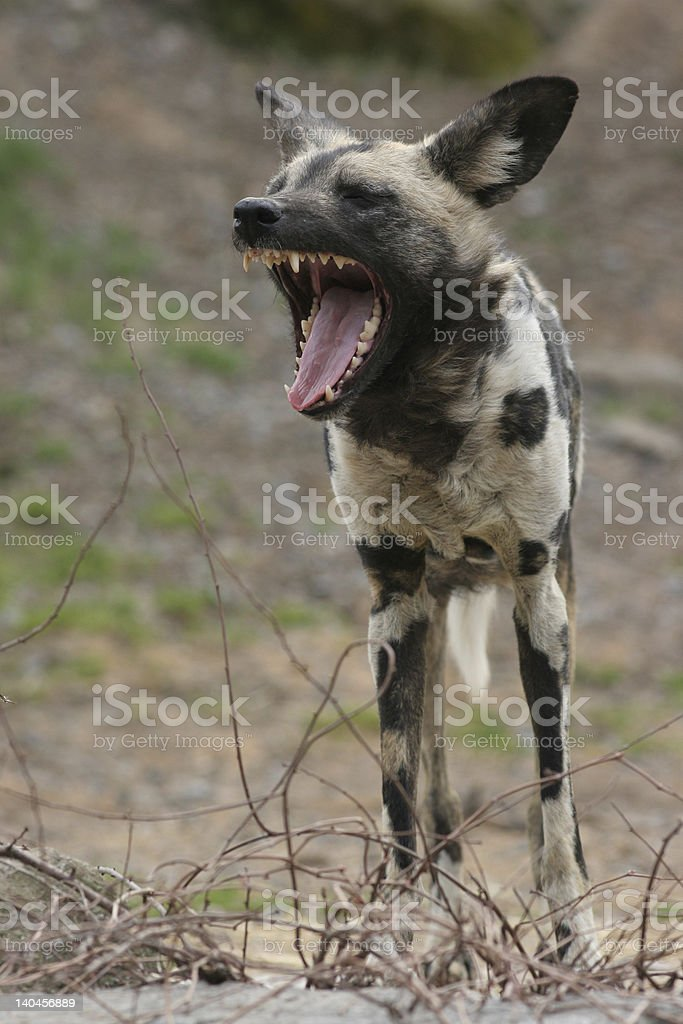 African Wild Dog royalty-free stock photo