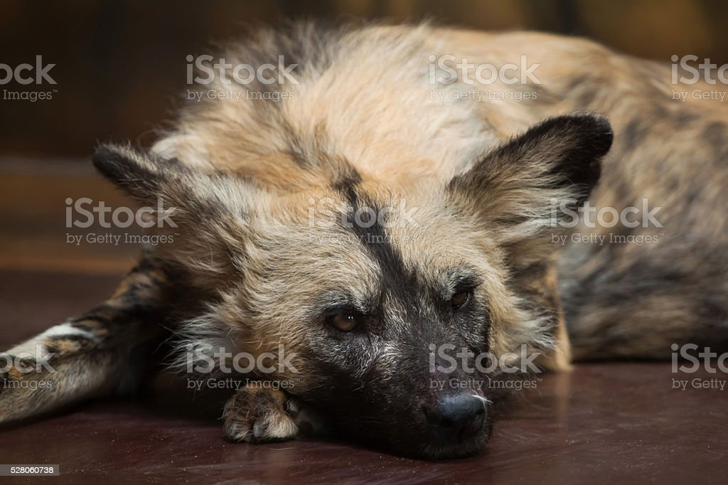 African wild dog (Lycaon pictus). stock photo