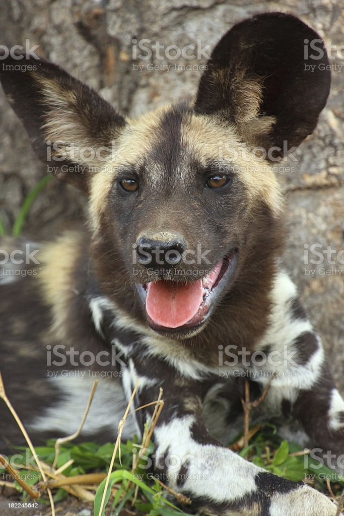 'African Wild dog portrait , facing forwards close up on face' stock photo