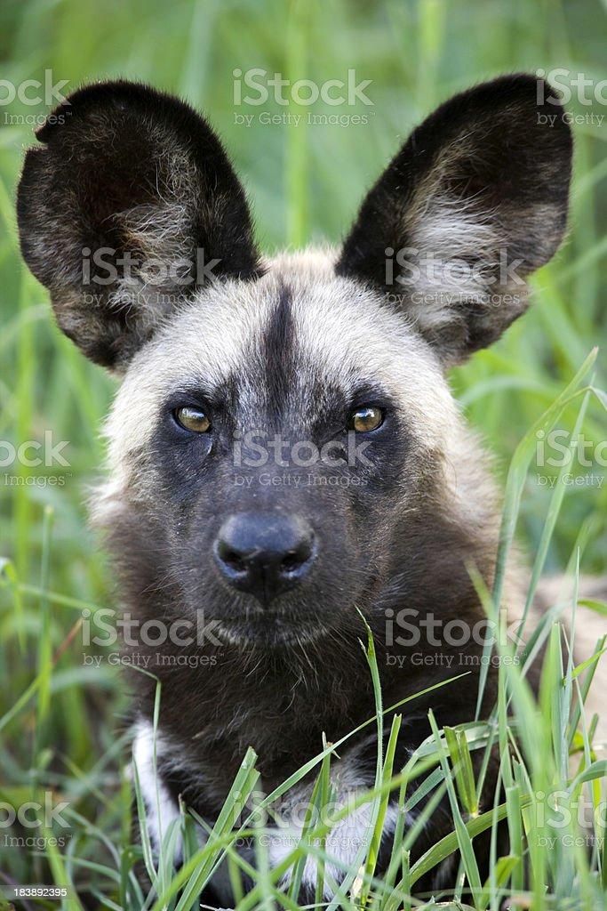 African Wild Dog Portrait stock photo