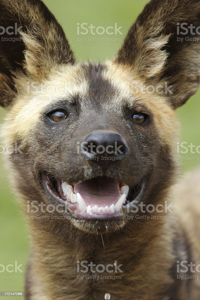 African Wild Dog portrait two stock photo