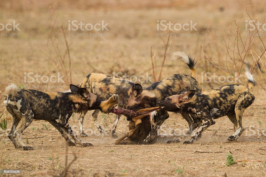 African Wild Dog ripping an Impala carcass (Aepyceros melampus) stock photo