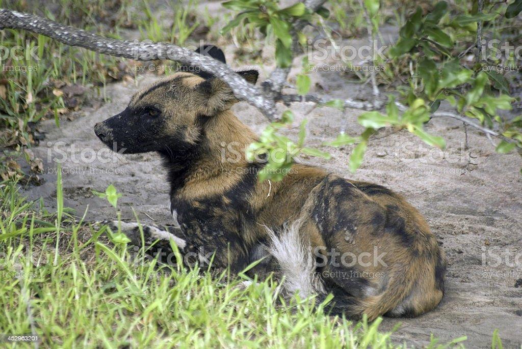 African wild dog, Selous Game Reserve, Tanzania stock photo