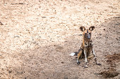 African wild dog sitting in the sand.