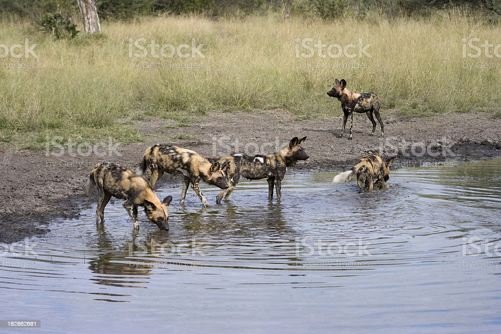 African Wild Dogs at Water Hole stock photo