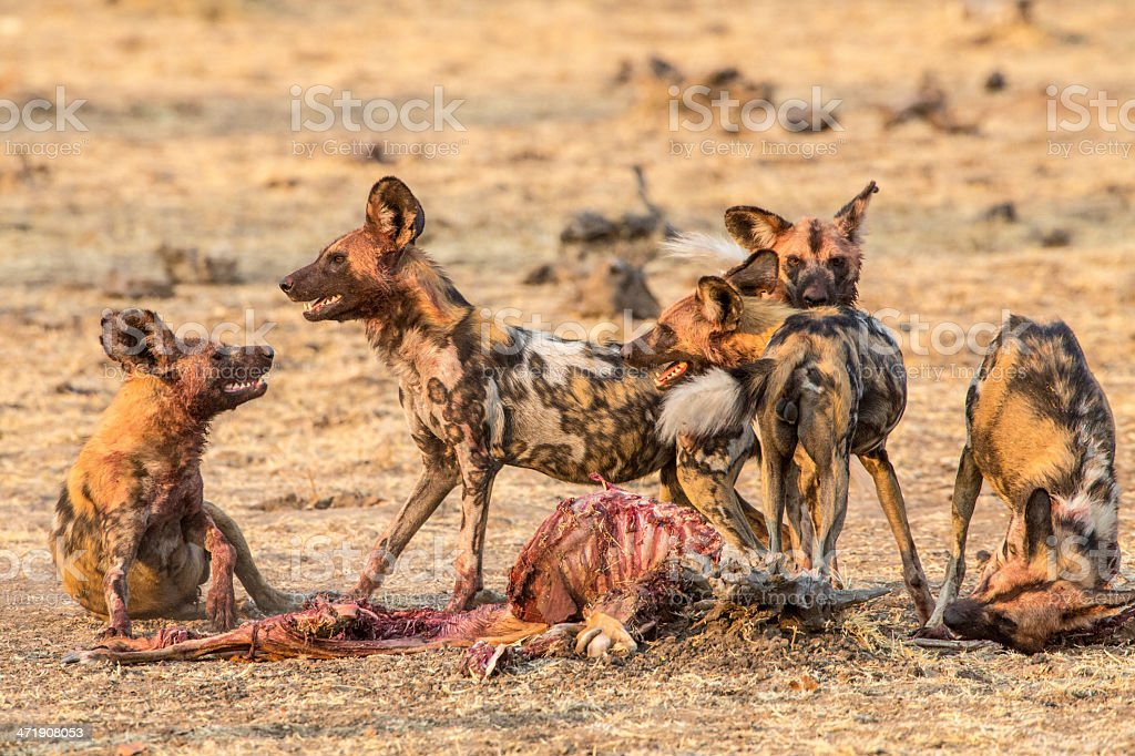 African wild dogs eating a kill stock photo