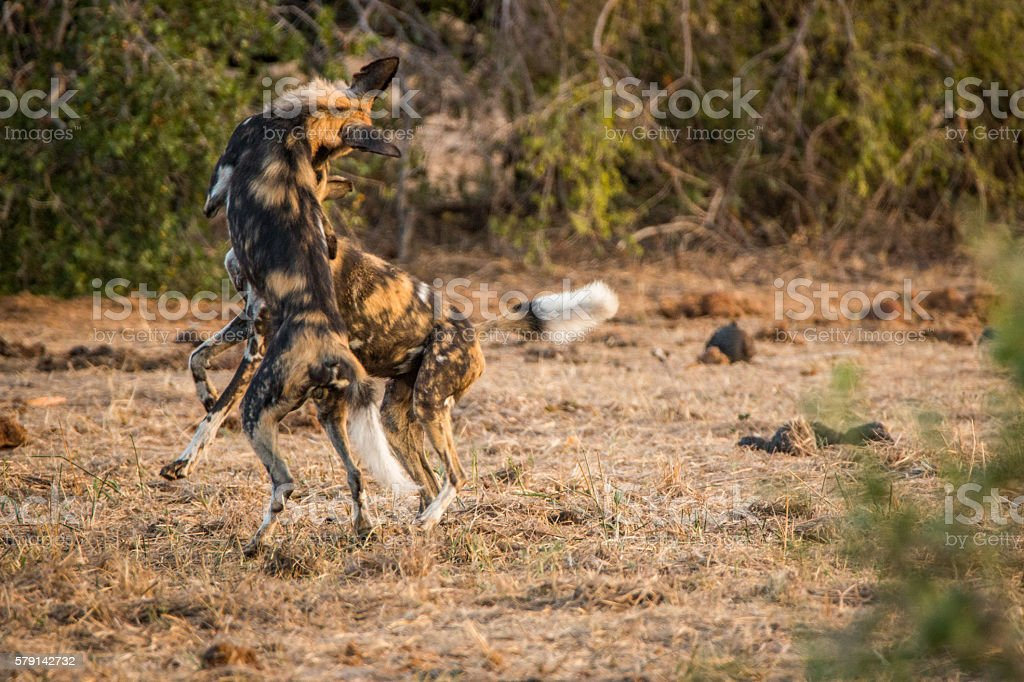 African wild dogs playing together. stock photo