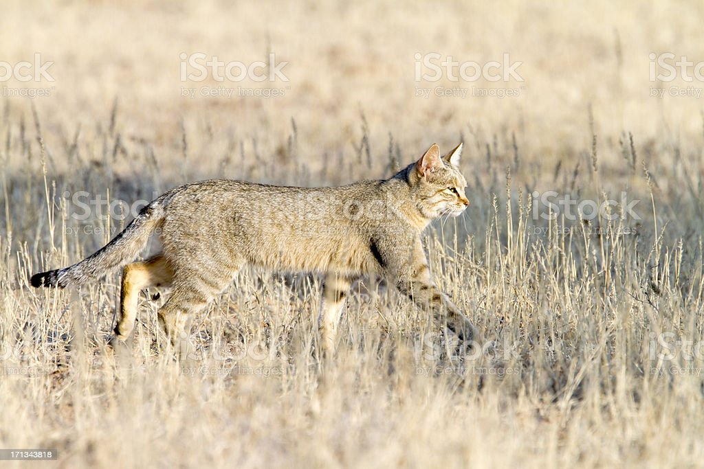 African Wildcat, Kgalagadi Transfrontier Park, South Africa stock photo