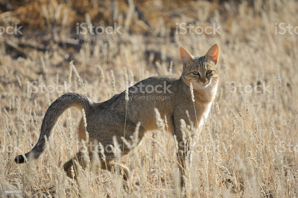 African wildcat stock photo