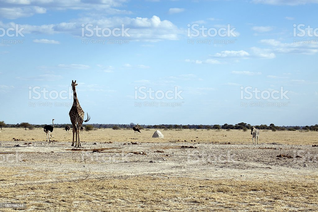 African Wildlife stock photo