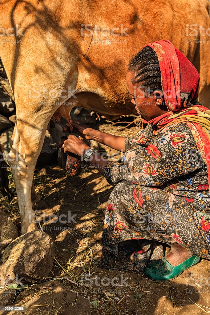 African woman milking a cow, Ethiopia, Africa stock photo