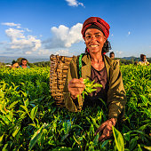 African women plucking tea leaves on plantation, East Africa