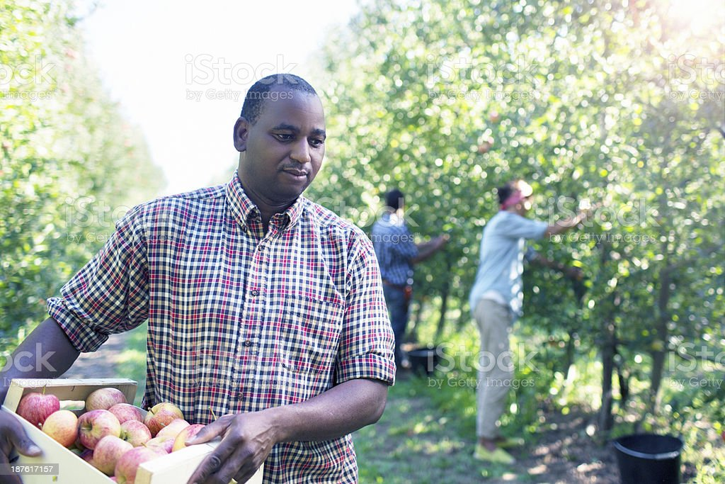 African working in the orchard royalty-free stock photo