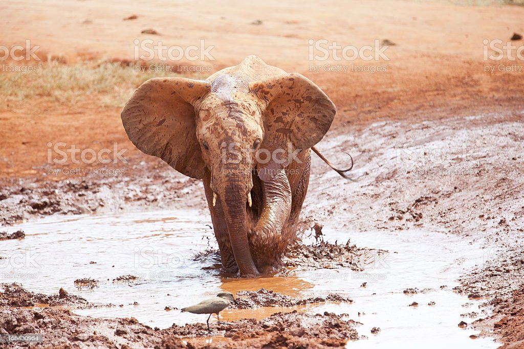 African Young Elephant wants to bird chase away stock photo