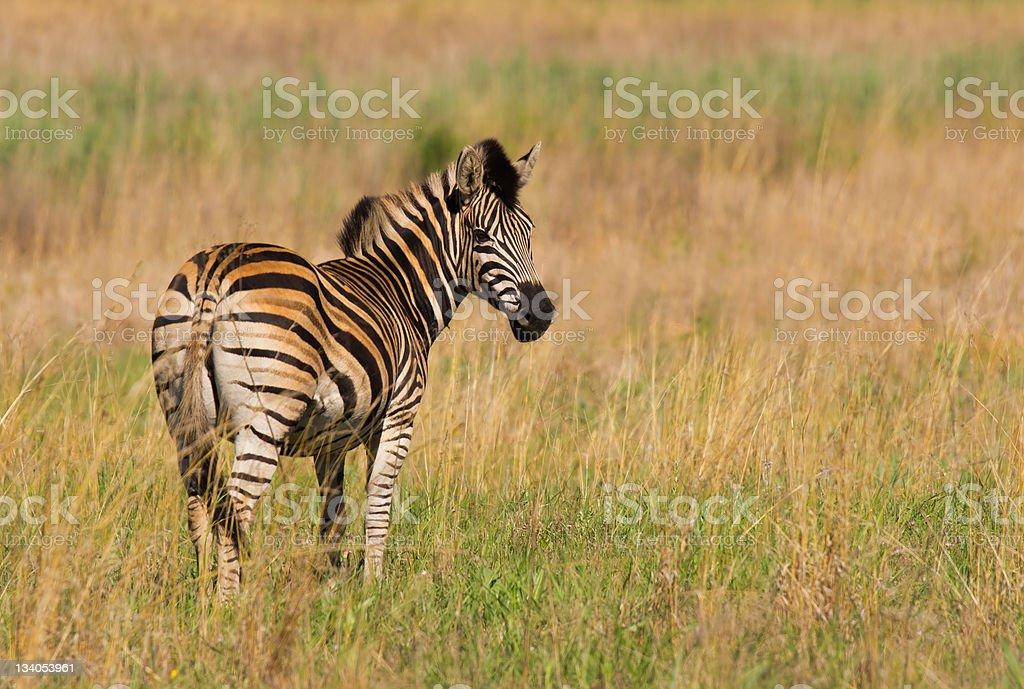African Zebra zbiór zdjęć royalty-free