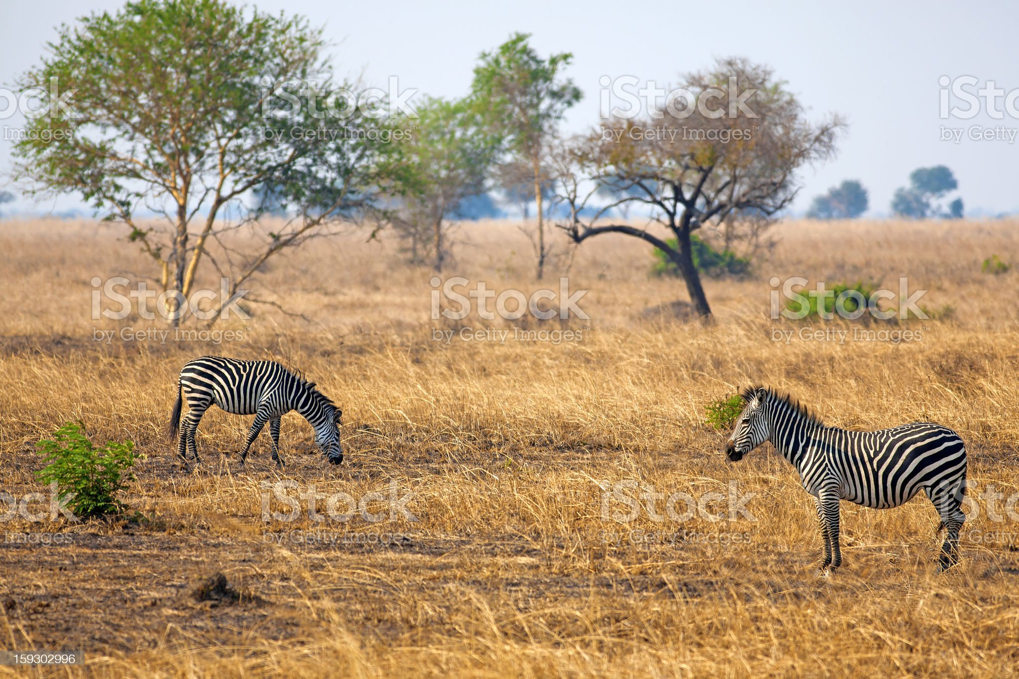African Zebra royalty-free stock photo
