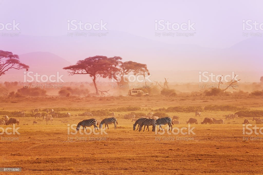 African zebras on grassland, Kenyan National park stock photo