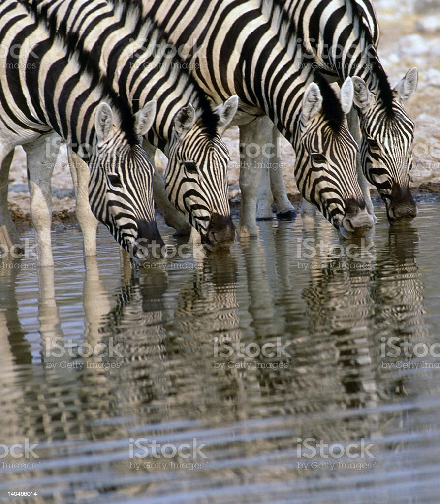 Africa-Zebras drinking royalty-free stock photo