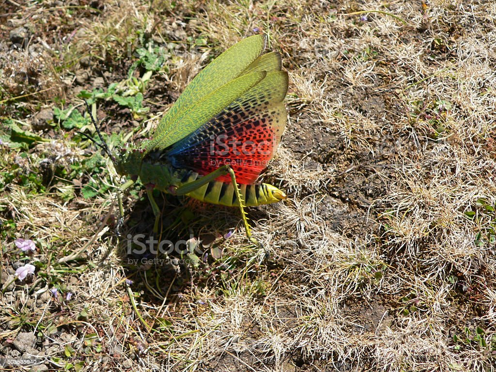 Afrikanische Kegelkopfschrecke (Phymateus viridipes) stock photo