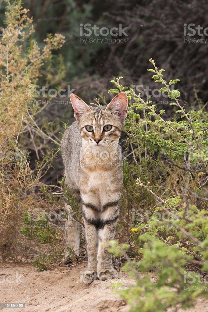 Afrikanische Wildkatze, Falbkatze, Felis lybica,  African wild c stock photo